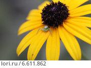 Паук на цветке. Стоковое фото, фотограф Vladnad / Фотобанк Лори