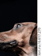 Портрет рыжей таксы на темном фоне. Стоковое фото, фотограф Суворкин Владимир / Фотобанк Лори