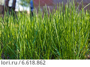 Зеленая трава. Стоковое фото, фотограф Олеся Мовсисян / Фотобанк Лори