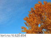 Крона осины в золотой осенней листве на фоне синего неба. Стоковое фото, фотограф Daniela / Фотобанк Лори
