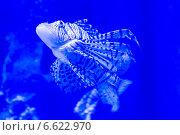 Купить «Полосатая рыба в аквариуме», фото № 6622970, снято 19 июня 2014 г. (c) Володина Ольга / Фотобанк Лори