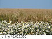 Ромашки на фоне ячменного поля. Стоковое фото, фотограф Дмитрий / Фотобанк Лори