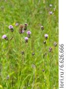 Купить «Бодяк полевой, или Розовый осот (лат. Cirsium arvense)», эксклюзивное фото № 6626666, снято 15 июля 2014 г. (c) Елена Коромыслова / Фотобанк Лори