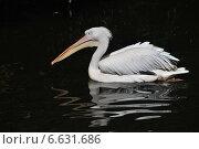 Купить «Кудрявый пеликан (лат. Pelecanus crispus)», эксклюзивное фото № 6631686, снято 4 сентября 2014 г. (c) lana1501 / Фотобанк Лори