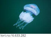 Купить «Корнерот из отряда стрекающих из класса сцифоидных (Rhizostoma), опасная медуза», фото № 6633282, снято 21 июля 2014 г. (c) Евгений Сергеев / Фотобанк Лори