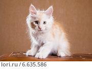 Купить «Котенок породы мейн-кун», фото № 6635586, снято 5 августа 2014 г. (c) Gagara / Фотобанк Лори