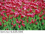 Малиновые красивые тюльпаны. Стоковое фото, фотограф lana1501 / Фотобанк Лори