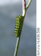 Гусеница Махаона (лат. Papilio machaon) Стоковое фото, фотограф Елена Коромыслова / Фотобанк Лори