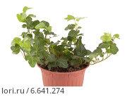 Купить «Комнатное растение плющ», фото № 6641274, снято 18 февраля 2013 г. (c) Галина Щипакина / Фотобанк Лори