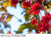 Гроздья калины. Стоковое фото, фотограф Давид Арутюнов / Фотобанк Лори