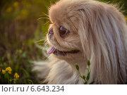 Портрет пекинеса. Стоковое фото, фотограф Екатерина Казанцева / Фотобанк Лори