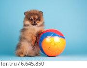Щенок с мячом. Стоковое фото, фотограф Дарья Июньская / Фотобанк Лори