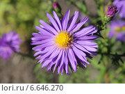 Купить «Крупно соцветие октябринки», эксклюзивное фото № 6646270, снято 3 октября 2014 г. (c) Ната Антонова / Фотобанк Лори