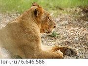 Профиль лежащей львицы. Стоковое фото, фотограф Попов Роман / Фотобанк Лори