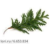 Купить «Ветвь туи на белом фоне», фото № 6653834, снято 9 ноября 2014 г. (c) Анна Полторацкая / Фотобанк Лори