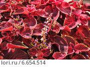 Купить «Цветущий Колеус Блюма (Plectranthus scutellarioides)», эксклюзивное фото № 6654514, снято 21 августа 2014 г. (c) Алёшина Оксана / Фотобанк Лори