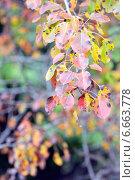 Красочные осенние листья на ветке. Стоковое фото, фотограф Iordache Carmen Anne Marie / Фотобанк Лори