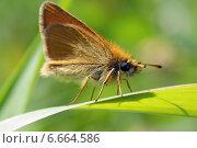Мохнатая бабочка-толстоголовка на травинке. Стоковое фото, фотограф Ирина Черкашина / Фотобанк Лори