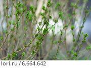 Распускающиеся почки на подрезанных ветвях. Стоковое фото, фотограф Захар Дудников / Фотобанк Лори