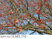 Купить «Осеннее дерево с красными ягодами на фоне неба», эксклюзивное фото № 6665110, снято 4 ноября 2014 г. (c) Svet / Фотобанк Лори