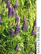 Купить «Люпин многолистный (лат. Lupinus polyphyllus)», эксклюзивное фото № 6666062, снято 6 июня 2011 г. (c) lana1501 / Фотобанк Лори