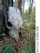 Череп животного в лесу. Стоковое фото, фотограф Юлия Куксова / Фотобанк Лори