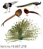 Set of Indian Peafowl and pheasant family birds. Стоковое фото, фотограф Яков Филимонов / Фотобанк Лори