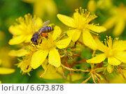 Пчела на цветке зверобоя. Стоковое фото, фотограф Ирина Черкашина / Фотобанк Лори