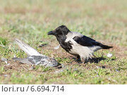 Купить «Ворона серая, Corvus cornix, Hooded Crow», фото № 6694714, снято 22 апреля 2014 г. (c) Василий Вишневский / Фотобанк Лори