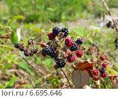 Купить «Ежевика на ветке в саду», фото № 6695646, снято 11 августа 2006 г. (c) Евгений Ткачёв / Фотобанк Лори