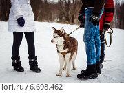 Собака породы хаски. Стоковое фото, фотограф Алёна Замотаева / Фотобанк Лори