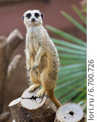 Купить «meerkat on tree», фото № 6700726, снято 7 августа 2014 г. (c) Яков Филимонов / Фотобанк Лори