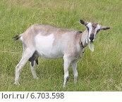 Купить «Серая коза стоит  на пастбище и жует», фото № 6703598, снято 24 июня 2014 г. (c) Цветкова Елена / Фотобанк Лори