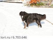 Купить «Собака, гуляющая на улице по снегу», фото № 6703646, снято 7 декабря 2010 г. (c) Татьяна Кахилл / Фотобанк Лори