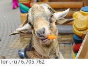 Купить «Камерунская или Карликовая коза (Capra hircus) в Ленинградском зоопарке», фото № 6705762, снято 26 октября 2014 г. (c) Галина Попова / Фотобанк Лори