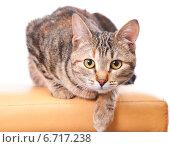 Купить «Кошка готовится к прыжку», эксклюзивное фото № 6717238, снято 20 ноября 2014 г. (c) Куликова Вероника / Фотобанк Лори