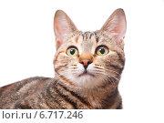 Купить «Удивленная кошка», эксклюзивное фото № 6717246, снято 20 ноября 2014 г. (c) Куликова Вероника / Фотобанк Лори
