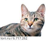 Купить «Портрет кошки», эксклюзивное фото № 6717262, снято 20 ноября 2014 г. (c) Куликова Вероника / Фотобанк Лори