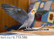 Попугай корелла расправил крылья. Стоковое фото, фотограф Dmitry29 / Фотобанк Лори