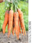 Рука фермера с морковью. Стоковое фото, фотограф Светлана Давыдова / Фотобанк Лори
