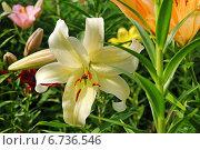 Купить «Цветок раскрывшейся лилии», эксклюзивное фото № 6736546, снято 8 июля 2013 г. (c) Юрий Морозов / Фотобанк Лори