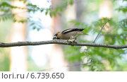 Дубонос (Coccothraustes coccothraustes) Стоковое фото, фотограф Евгений Виноградов / Фотобанк Лори