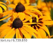 Купить «Желтые цветы рудбекии (лат. Rudbeckia)», эксклюзивное фото № 6739810, снято 23 июля 2014 г. (c) lana1501 / Фотобанк Лори