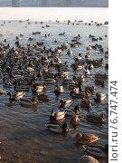 Плавающие утки. Стоковое фото, фотограф Инна Остановская / Фотобанк Лори
