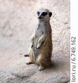 Купить «meerkat», фото № 6749162, снято 5 августа 2020 г. (c) Яков Филимонов / Фотобанк Лори