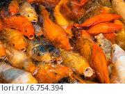 Купить «Огромное количество рыбы кои или китайского карпа», фото № 6754394, снято 11 мая 2013 г. (c) Николай Винокуров / Фотобанк Лори