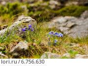 Купить «Колокольчик альпийский», фото № 6756630, снято 11 июля 2010 г. (c) Оксана Ковач / Фотобанк Лори