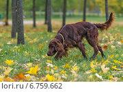 Осенний сеттер. Стоковое фото, фотограф Эдуард Пиолий / Фотобанк Лори