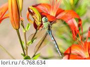 Стрекоза на цветке. Стоковое фото, фотограф Светлана Давыдова / Фотобанк Лори