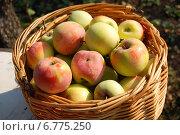 Урожай яблок в корзине. Стоковое фото, фотограф Мария Мухина / Фотобанк Лори